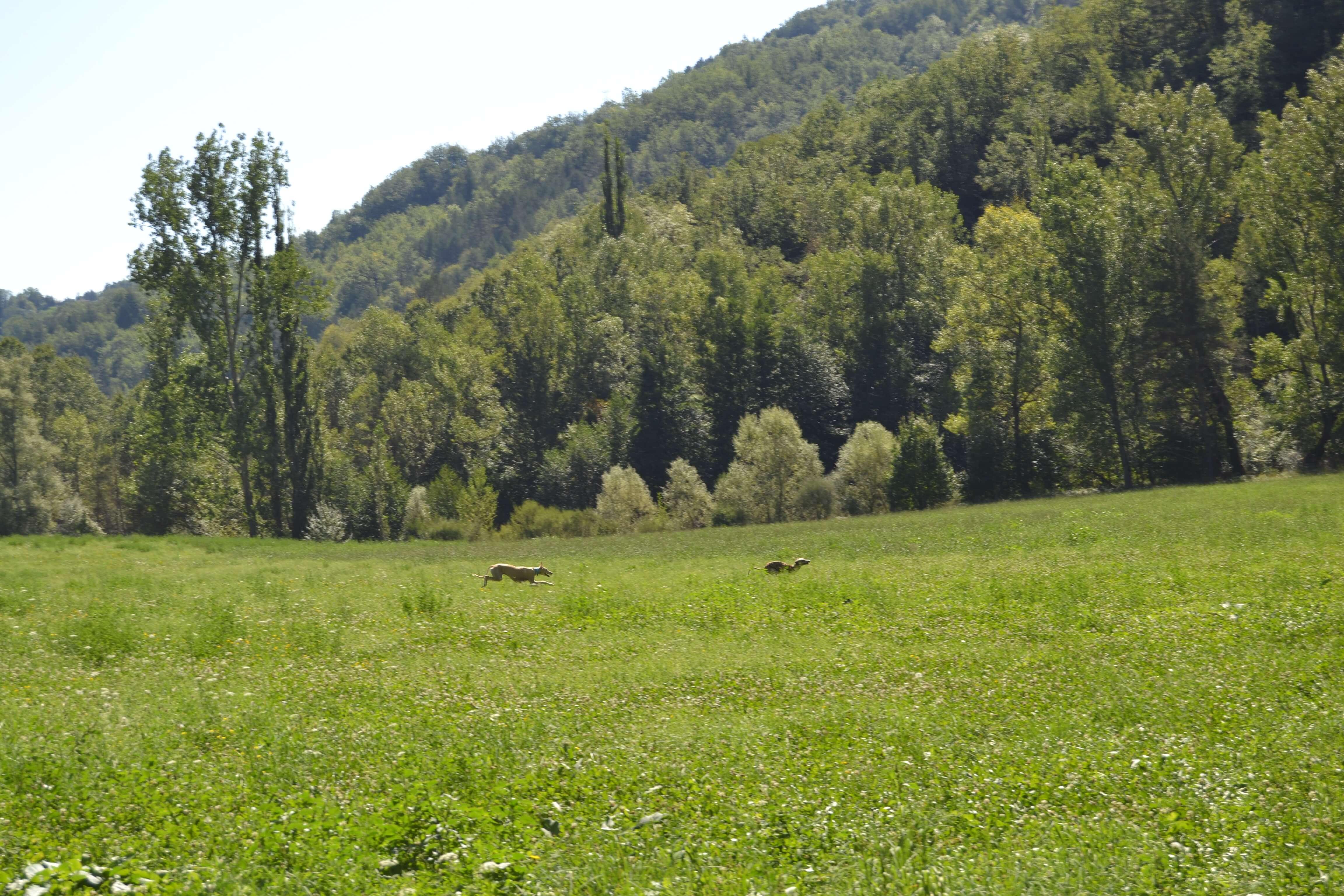 galgos-corriendo-prado