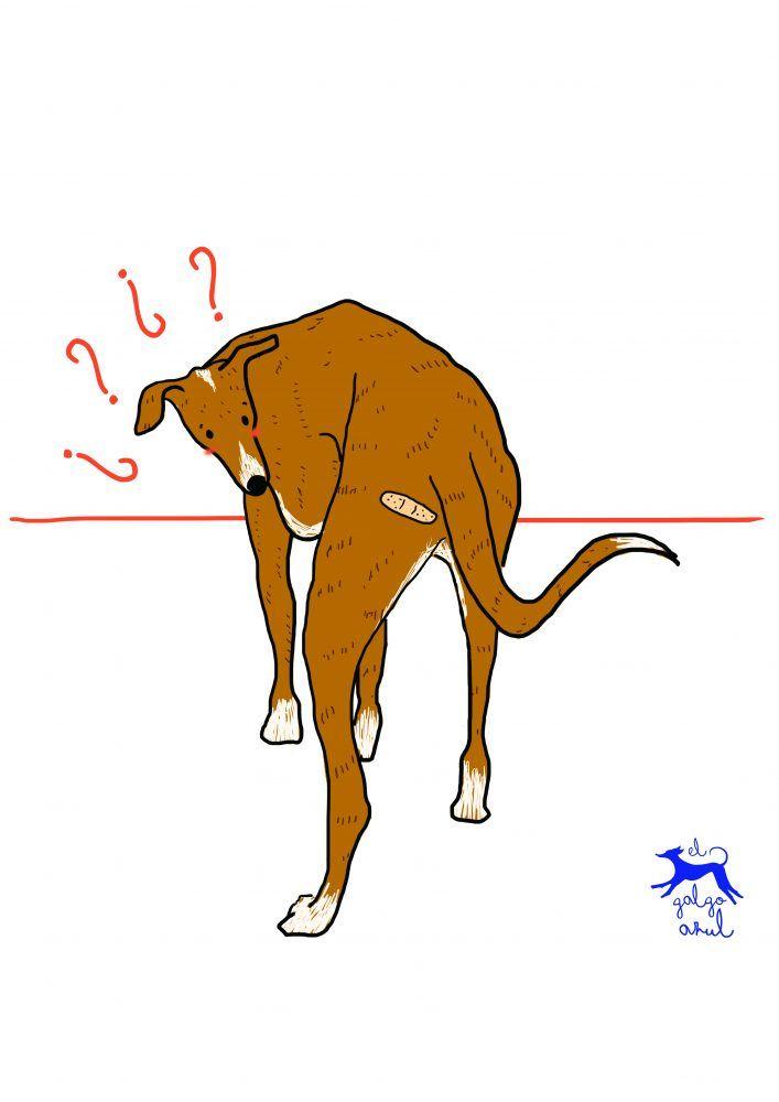 galgo, greyhound