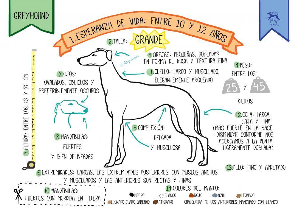 Características del greyhound