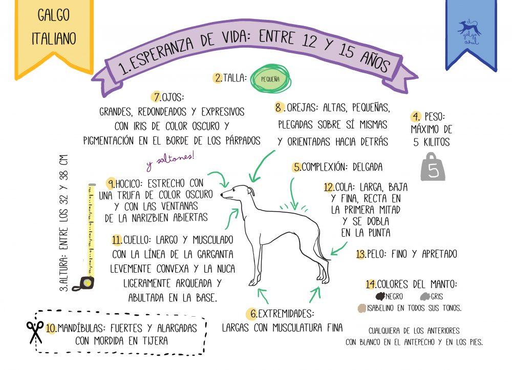 lebrel italiano infografia