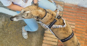 three point harnesses for greyhounds