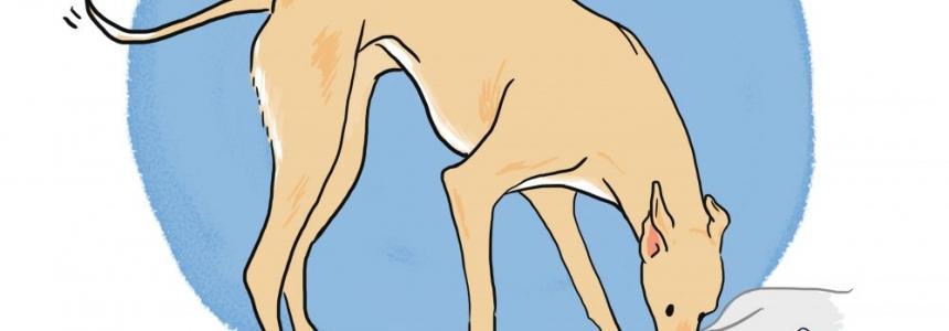 El Greyhound, el perro más veloz del mundo